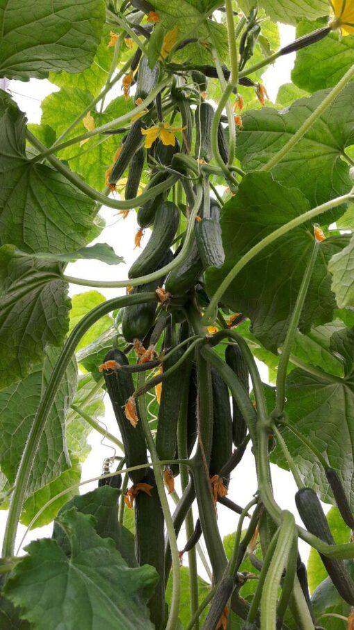 بذر خیار گلخانه ای داتیس