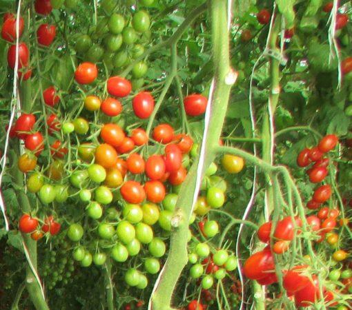 بذر گوجه زیتونی گلخانه ای جگوار