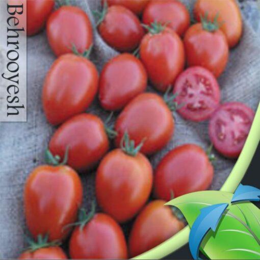 بذر گوجه فرنگی هیبرید فضای باز نامیب