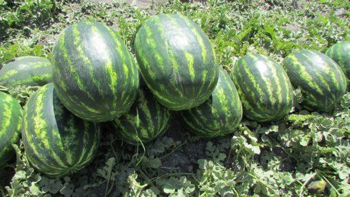 بذر هندوانه هیبرید کریمسون سوئیت یامی