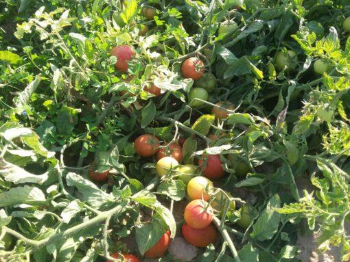 بذر گوجه پربار
