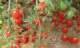 بذر گوجه زیتونی