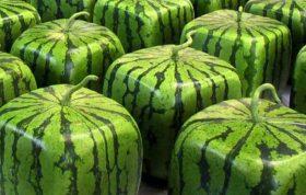 در بازار جهان هندوانه جز پر طرفدارترین میوه ها می باشد که خواص و فواید بسیاری دارد. اهمیت بالای این میوه زمانی تعیین می شود که به صورت دقیق به میزان خرید و فروش بذر این میوه بپردازیم. - هندوانه مکعبی - هندوانه مربعی - هندوانه مکعبی در ایران