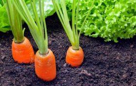 منشا و خواستگاه گیاه هویج آسیا بوده و در اشکال و رنگ های مختلف ریشه گسترش یافته است. هویج گیاهی دو ساله می باشد که در سال اول دارای رشد رویشی بوده و در سال دوم ساقه گل دهنده تشکیل شده و تولید بذر می کند. کوددهی هویج – کاشت بذر هویج – میزان برداشت هویج – انواع بذر هویج