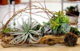 اغلب این گیاهان بدون ریشه می باشند و به عنوان یک گیاه اپیفیت شناخته شده اند.پدیده ی اپیفیت اغلب در جنگل های بارانی دیده می شود و خواستگاه این گیاهان آمریکای جنوبی و مرکزی، مکزیک و جزایر کارائیب می باشد. - گیاهان هوازی - تیلاندسیا - شرایط نگهداری گیاهان هوازی - گیاه هوازی خزه اسپانیایی - گیاه هوازی -
