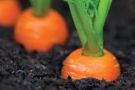شرایط اقلیمی برای رشد هویج
