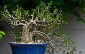بن سای درخت یا گیاهی است که در گلدان پرورش داده می شود و پا کوتاه شده و می تواند در سنسن 100 تا200 سالگی تنها حدود 60 سانتی متر بلندی داشته باشد. موردی که باید به آن توجه داشت اطمینان از دانه ی تهیه شده از یک درخت بن سای است. پرورش بن سای - نگه داری بن سای - آبیاری بن سای