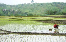 مازندران و گیلان از مهم ترین خاستگاه های کاشت برنج در ایران به شمار می آیند.برنج نیز مانند سایر غلات برای رشد بهتر به نیتروژن نیاز دارد همچنین برای افزایش ریشه و مقاومت در برابر آفات و بیماری ها به کود های فسفر دار احتیاج دارد- کاشت برنج - زمان کاشت برنج - کشت برنج بدون آب - کاشت برنج در ایران