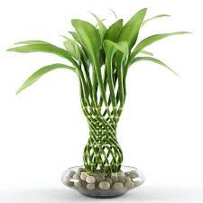 گیاه بامبو