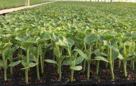 ابزار پرورشی ضدعفونی شده کنترل دما کنترل نور مدیریت کارآمد آفات و امراض اقدامات بهداشتی مناسب روش تولید نشاء گلخانه ای - مرحله تولید نشاء و کاشت در گلخانه - روش تولید نشاء صیفی و سبزی