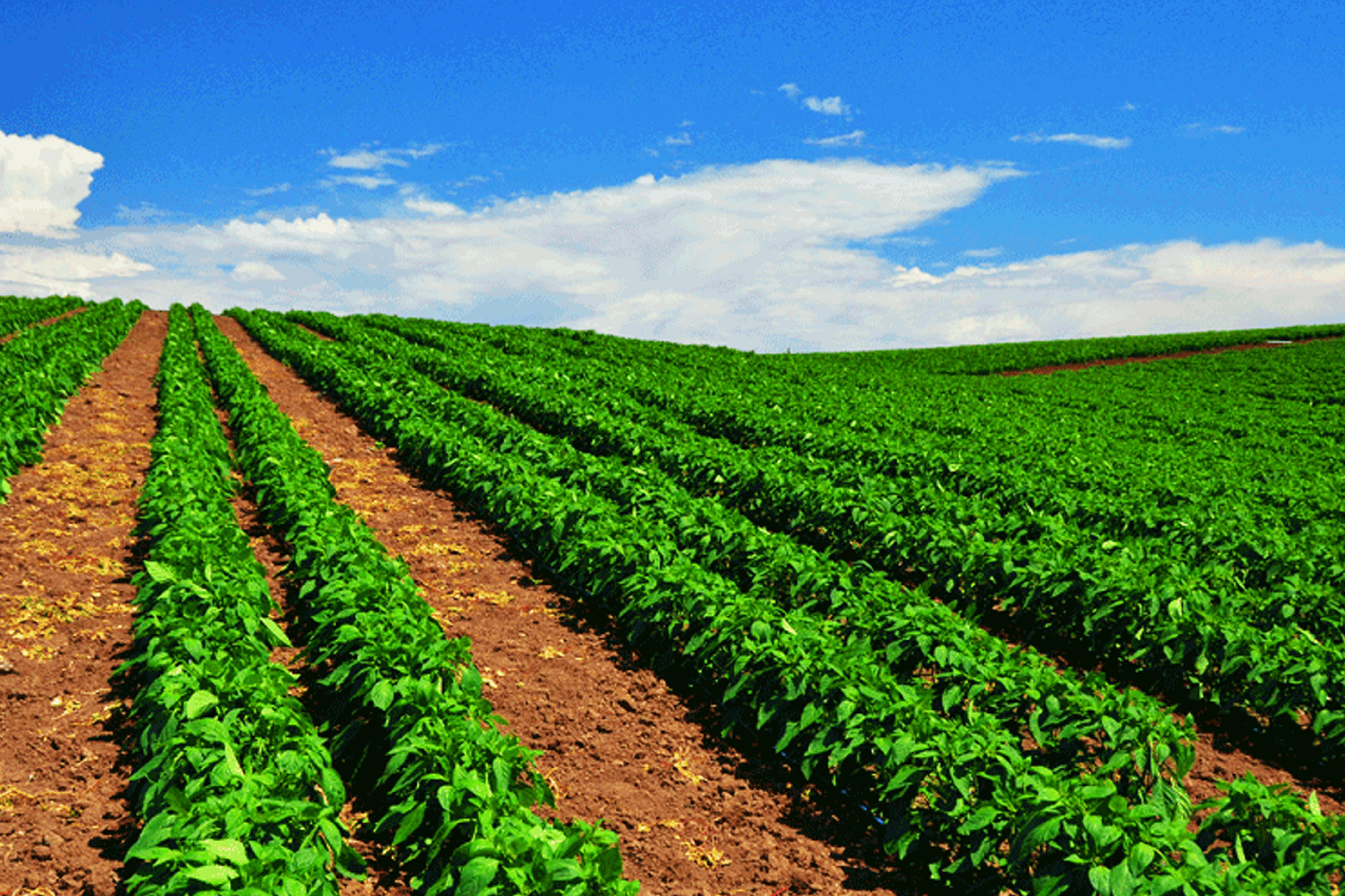 آبیاری نواری(تیپ) زمین های کشاورزی