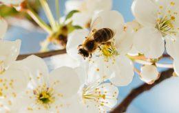 استفاده از حشرات در افزایش عملکرد تولید بذر، حشرات گرده افشان، نقش زنبور عسل در گرده افشانی