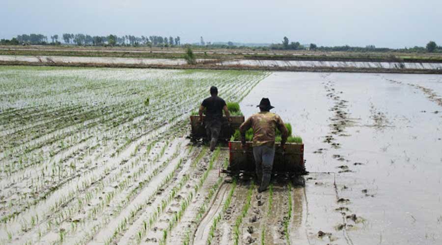 در این مقاله میتوانید اطلاعاتی درمورد خاک شالیزار، کودهای مورد نیاز زمین کاشت برنج و همینطور آماده سازی زمین شالیزار برای کشت بهتر برنج در مناطق مختلف کسب کنید.
