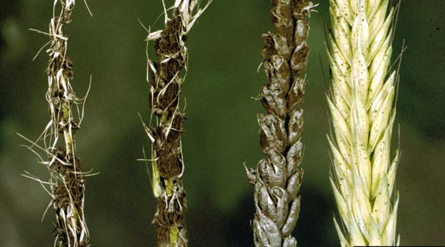 در این مقاله نکته هایی در مورد سیاهک پنهان گندم ، سیاهک آشکار گندم و سیاهک برگی گندم گفته می شود که کشاورزان عزیز می توانند از این نکات استفاده کرده تا بتوانند رشد بهتری در گیاهانشان نظاره گر باشند.