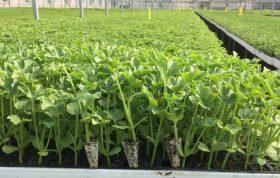 در این مقاله در مورد روش تولید نشاء سبزی ، بهترین خاک برای تولید نشاء ، تولید نشاء گلخانه ای و همچنین آفات و بیماری های تولید نشاء صحبت خواهیم کرد.
