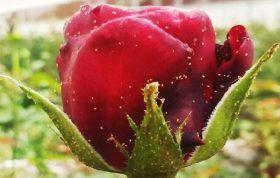 میخواهید با شته هایی که روی گلهایتان هستند مبارزه کنید می توانید از این مقاله استفاده کرده و همچنین با شته گل رز ، مبارزه با شته گل رز ، سموم شته آشنا شوید.