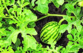در این مقاله می توانید در مورد کاشت هندوانه ، آفات و بیماری های هندوانه ، آماده سازی زمین کاشت هندوانه ، مراقبت ها و آفات و بیماریهای هندوانه به اطلاعات خود بیافزایید.