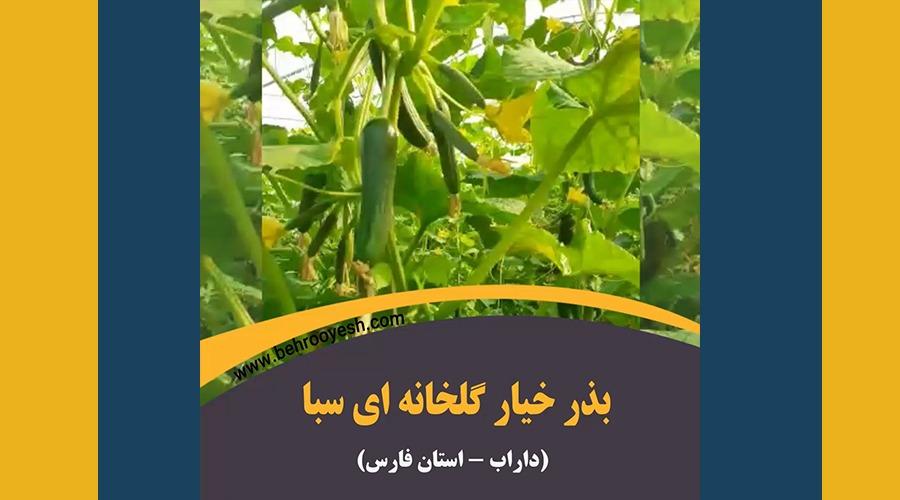 بذر-خیار-گلخانه-ای-سبا