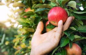 سیب یکی از میوه های لذیذ و پرطرفدار است، که از هجوم آفات و بیماری ها بی نصیب می ماند. زمانی که ما به عنوان باغبان تصمیم می گیریم که این درخت زیبا را کشت کنیم باید نسبت به آن نیز مسئول باشیم و آفات و بیماری های درخت سیب را به درستی بشناسیم.