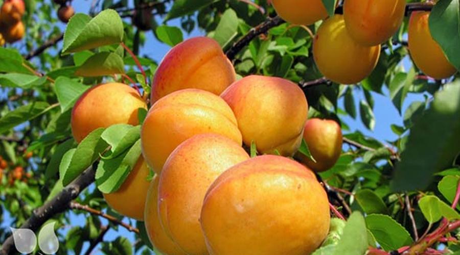 برای پرورش درختان میوه باید نکاتی را رعایت کرد. از جمله اینکه این درختان معمولا پیوندی هستند یعنی یک گیاه با میوه خوب و مشخصات مورد نظر ما روی یک گیاه دیگر که ریشه های قوی دارد یا بومی منطقه ماست پیوند زده می شود تا خصوصیات مورد نظر ما از نظر مثلا میوه خوب یا آفات کمتر یا … در کنار ریشههای قوی برای ما تجلی پیدا بکند.