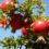 انواع درختان میوه کم آب