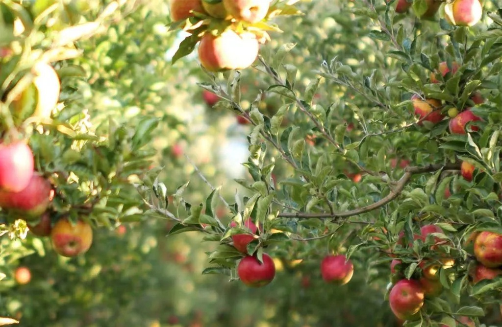 یخ زدگی فقط برای درختان در فصل بهار مشکل ایجاد می کند و فقط اگر در هنگام گلدهی درختان یا زمانی که میوه بعد از گلدهی کوچک است، یخبندان ایجاد شود. بهترین درخت میوه برای مناطق سرد بادام و زردآلو بیشترین حساسیت به سرما را دارند، سپس گیلاس، هلو و شلیل، سیب، آلو و گلابی به ترتیب.